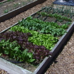 photo of raised vegetable garden by David Whiting