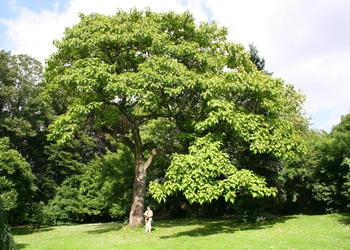 Pawlonia Tree
